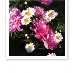 Rosa pioner och vita prästkragar i en blomsterrabatt.