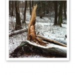 Ett brutet träd i skogen som knäckts i stormen.