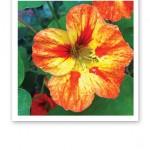 Närbild på en blomma med gula och orange blad.