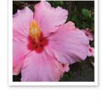 Närbild på en stor rosa hibiskus, med röd mitten och gula ståndare/pistiller.