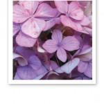 Närbild på en ljuslila hortensias blomblad.