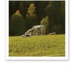 Brunvita kor som betar på en äng vid ett skogsbryn.