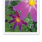 Två lila blommor, den ena suddig och nära, den andra längre ifrån och skarpare.