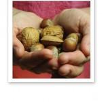Två kupade händer fulla med sötmandlar, hassel- och valnötter med skal.