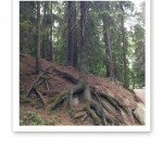 Tallar som ser rakryggade ut och har grova rötter ner i myllan.