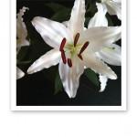 Närbild på en vit liljas sex kronblad, ståndare och pistill.