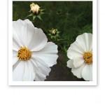 Två skira vita blommor och tre vita knoppar mot grönska i bakgrunden.