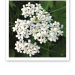 Närbild på många små vita miniblommor mot gröna frodiga blad.