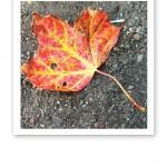 Närbild på ett torrt orangegult lönnlöv mot grått grus.