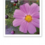 Närbild på en vacker blomma i rosalila nyans, med åtta stycken kronblad.