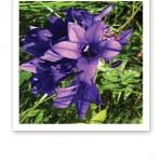 Närbild på en violett blomma.