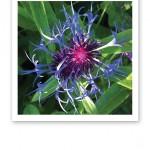 Närbild på en blå blomma.