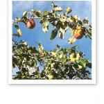 En äppelgren med gröna blad och röd frukt mot klarblå himmel.