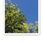Bild på gröna lövträdkronor mot klarblå himmel.
