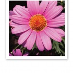 Närbild på en rosa krysantemum.
