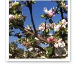 Ljusrosa äppelblom mot klarblå himmel.