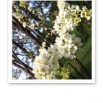 Närbild på blommande vit hägg.