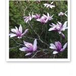Vackra, ljusrosa magnoliablommor.