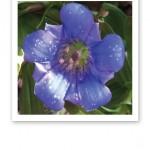 Närbild på en vacker blå blomma.