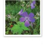 Närbild på en violett midsommarblomster och gröna blad i bakgrunden.