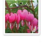 Grön kvist med rosa löjtnantshjärtan.