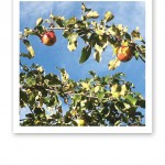 Gren med äpplen på, mot en klarblå hösthimmel.
