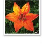 Närbild på en brandgul liljas kronblad.