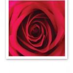En röd ros i närbild, med överlappande rosenblad in mot mitten.