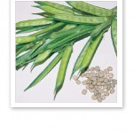 Bild på guarväxten cyamopsis tetragonolobus, som görs till mjöl.