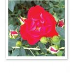 Närbild på en röd ros med gröna blad och röda rosenknoppar.