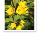 Närbild på guldgula blommor på en grön stjälk med gröna blad.