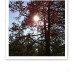 Solens strålar tränger igenom en ståtlig talls trädkrona.