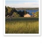 Höhässjor på en grässlänt ner mot sjön, i kvällsol.