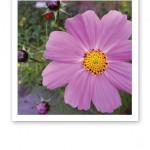 Närbild på en rosalila blomma, gröna blad och lila knoppar.