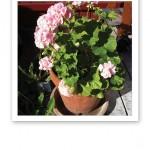 En rosa pelargon med gröna blad, i en terracottafärgad lerkruka.