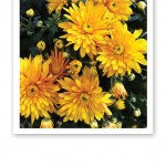 Solgula blommor och gröna blad.