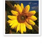 En gul skinande solros mot en blå himmel.