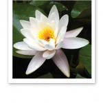 Närbild på en vit vacker näckros mot gröna blad.