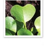Ett hjärtformat grönt blad från rädisor.