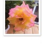 Närbild på en gul och rosa ros.