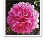 Närbild på en klarrosa, blommande och doftande pion.