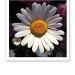 En närbild på en prästkrages kronblad.