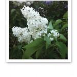 Vita väldoftande och blommande syréner.
