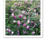 Ett blommande buskage med rosa nyponrosor.