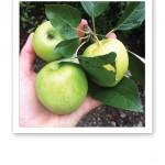 En kvist med äpplen från ett äppelträd.
