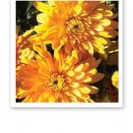 Närbild på solgula blommor i solsken.