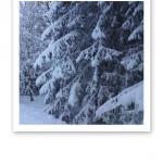Snötyngda grenar i en tyst vinterskog.