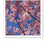 vår körsbärsblom