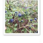 skärgårdsblåbär